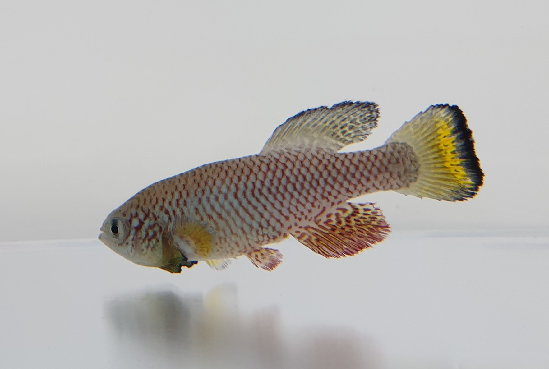 Nothobranchius furzeri